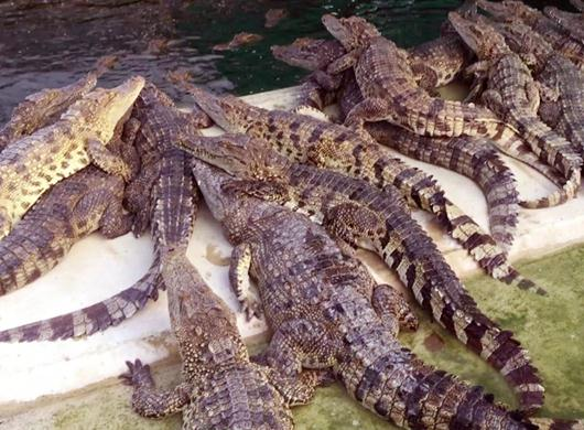crocodile-farm-siem-reap-slide-1.jpg